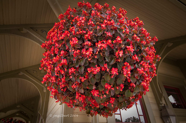 Begonia hanging basket at the Historic Train Depot in St. Charles, Missouri