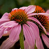 Cone Flower growing in my front yard.  Pentax K-7, 1/500 sec., f/9.5, ISO 800, 300mm f/4 lens.
