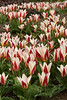 Hybrid Tulips, some of the first up this spring.