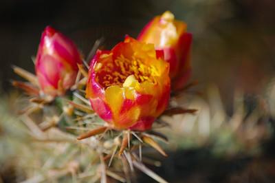 Buckhorn Cholla Flora