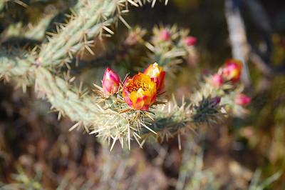 Buckhorn Cholla Flowers