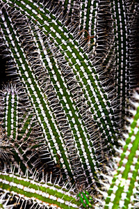 Euphorbia baioensis - Spurge Family (Euphorbiaceae) - Kenya