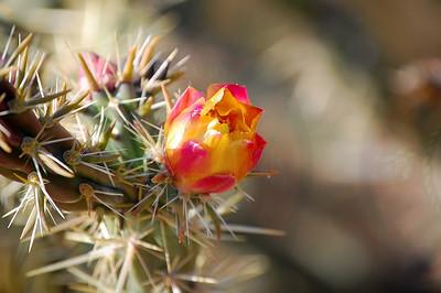 Buckhorn Cholla Flower