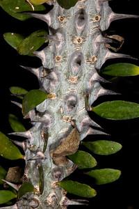 Madigascan Ocotillo (Alluaudia procera) - Purslane Family (Portulacaceae) - Matagascar