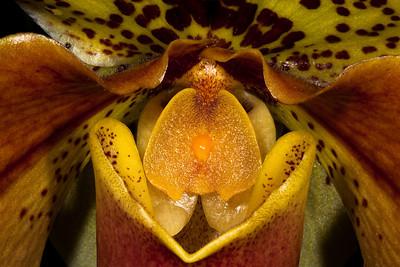 Paphiopedilum Cockade 'Chilton' HCC/AOS - Orchid Family (Orchidaceae)