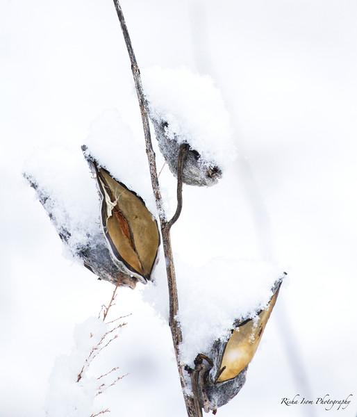 Snow on Milkweed