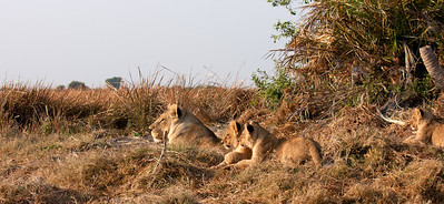 Tsaro lioness keeping her cubs hidden from the rest of the pride Duba Plains, Botswana