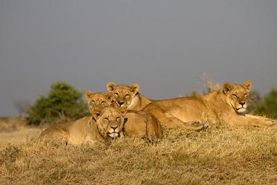 Tsaro lion pride scouting for cape buffalo
