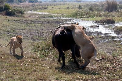 Tsaro lioness attacks cape buffalo Duba Plains, Botswana
