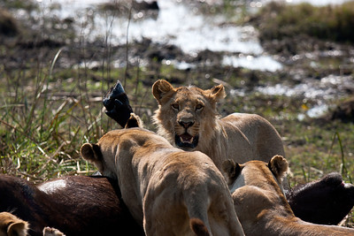 Young male Tsaro lion proud after suffocating cape buffalo