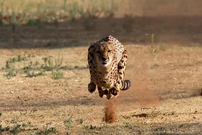 Cheetah De Wildt, South Africa
