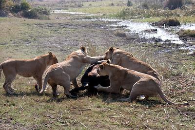 Tsaro pride joins in cape buffalo attack Duba Plains, Botswana