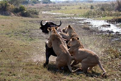Tsaro pride taking down cape buffalo Duba Plains, Botswana