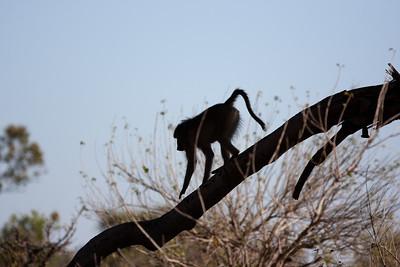 Baboon Moremi, Botswana