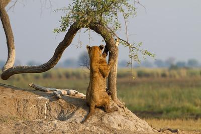 Tsaro pride cub marking his territory