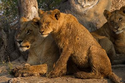 Adoring Tsaro pride cub sits with Tsaro lioness