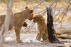 Spunky cub stands up to her older cousin