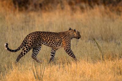 Pula stalking impala herd