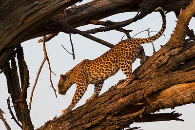 Pula stalking impala