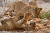 Cubs of the Marsh Pride at play