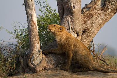 Tsaro cub thinks about climbing a tree