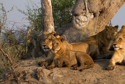 Tsaro pride cub emulates experienced lioness