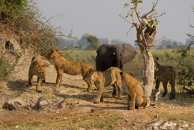 Elephant investigates the Tsaro pride cubs