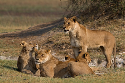 Tsaro pride cubs with the lionesses