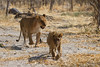 Motsomi follows her cub