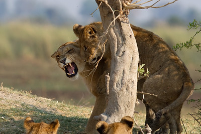 Tsaro lioness not in the mood to play with a cub