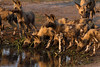 LTC African wild dog pack drinking while watching for crocs