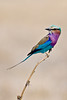 d31_3407a<br /> Lilac-breasted Roller, Botswana's native bird.<br /> Moremi GR.