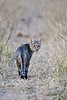 d31_3484<br /> African Wild Cat at dusk @ ISO 3200