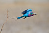 d31_3408a<br /> Lilac-breasted Roller in flight.<br /> Moremi GR.