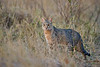 d31_3499<br /> African Wild Cat at dusk @ ISO 3200