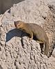 d31_3432a<br /> Slender Mongoose on termite mound.<br /> Moremi GR.