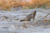 d31_3465<br /> Banded Mongoose.<br /> Moremi GR.