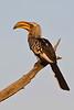 d31_3194a<br /> Yellow-billed Hornbill.<br /> Moremi GR