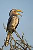 d31_3504a<br /> Yellow-billed Hornbill calling.<br /> Xakanaxa.