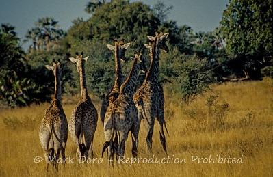 Giraffe herd, Okavango Delta, Botswana