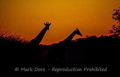 Giraffe silhouette, Okavango Delta, Botswana