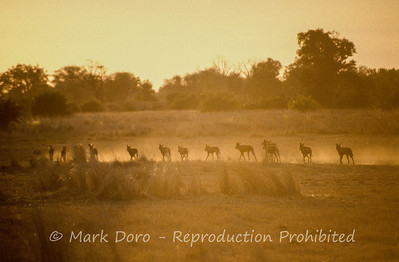 African Wild Dogs, hunting at sunset, Okavango Delta, Botswana