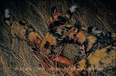 African Wild Dogs, successful hunt (Male Impala), Okavango Delta, Botswana