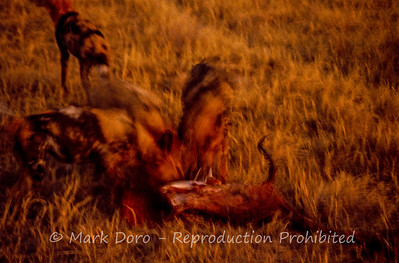 Impressions of African Wild Dogs devouring a male Impala, Okavango Delta, Botswana