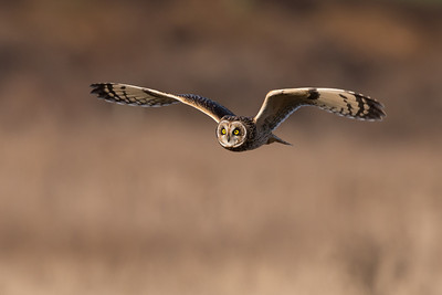 If it's sunny out, you can get some great flight shots of the short-eared owls