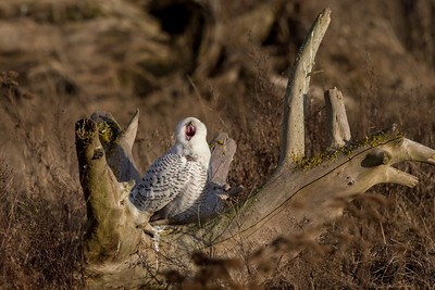The snowy owls sleep a lot during the day