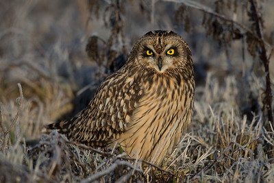A short-eared owl in the field