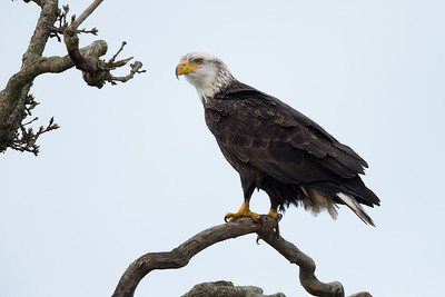 There are a great many bald eagles at the area as well, although most are high up in trees.