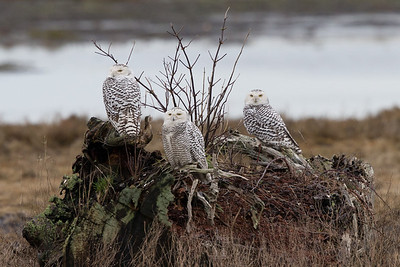Many snowy owls have returned to Boundary Bay, after last year's population irruption