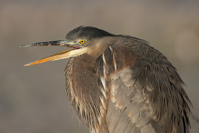 Great blue herons are all over the place.  Some of them let you get rather close.